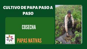 Cosecha de papas nativas – UC 5 – E 3