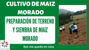 Preparacion de terreno y siembra de maiz morado. Mod 1