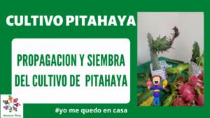 Propagación y Siembra del cultivo de Pitahaya Mod. 2
