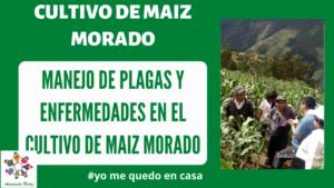 Plagas y enfermedades del maíz morado. Mod. 2
