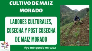 Labores Culturales Cosecha Y Post cosecha de Maíz morado - Mod 3