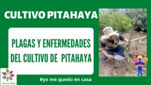 Plagas y Enfermedades del cultivo de pitahaya. Mod 4